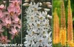 Цветок эремурус посадка и уход