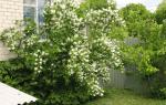 Как пересадить жасмин осенью