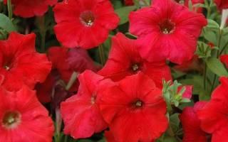 Красные петунии: сорта, посадка и уход