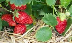 Клубника выращивание и уход весной подкормка