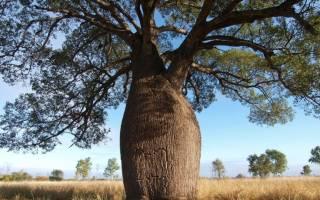 Тоборочи бутылочное дерево