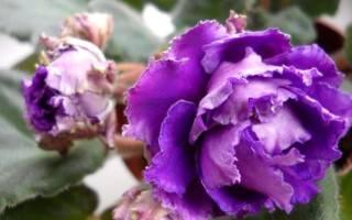 Фиолетовые и сиреневые фиалки: описание сортов и советы по уходу