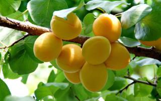 Посадка абрикоса осенью в средней полосе