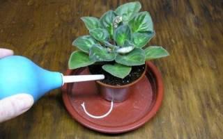 Чем поливать фиалки для обильного цветения
