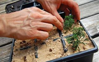 Размножение можжевельника черенками осенью