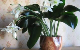 Цветок эухарис уход в домашних условиях