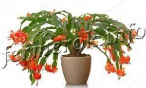 Комнатный цветок декабрист почему не цветет