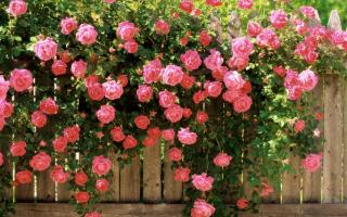 Как ухаживать за плетистыми розами в саду