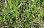 Как избавиться от пырея на огороде