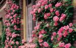 Как вырастить плетистую розу из черенка