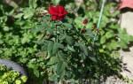 Когда лучше сажать розы весной или осенью
