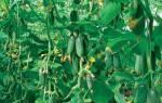 Средняя урожайность огурцов в теплице