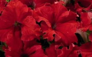 Сортовое разнообразие и выращивание петунии «Аладдин»