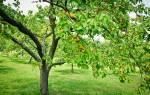 Чем подкормить абрикос осенью