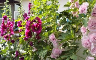 Тонкости выращивания штокрозы