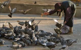 Что едят голуби уличные