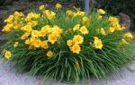 Лилейник желтого цвета: характеристики видов и рекомендации по выращиванию