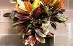 Комнатный цветок кодиеум как ухаживать
