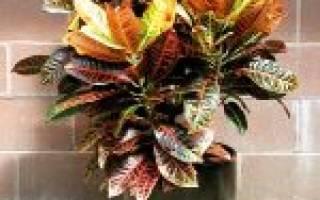 Кодиум цветок как ухаживать