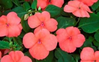 Ванька мокрый цветок болезни
