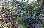 Размножение жимолости черенками осенью