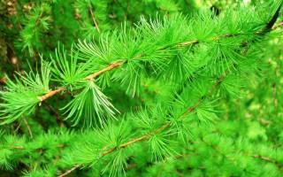 Как вырастить лиственницу из ветки