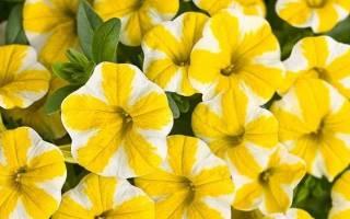 Сорта желтых петуний