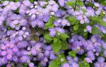 Голубой и синий агератум: лучшие сорта и советы по выращиванию