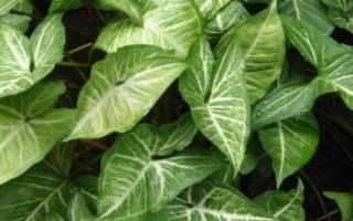 Комнатные растения сингониум уход