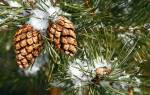 Виды шишек хвойных деревьев