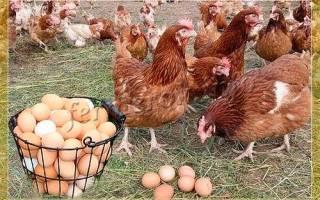 Что влияет на яйценоскость кур несушек