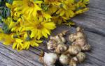 Как вырастить топинамбур из клубней