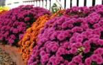 Многолетние осенние цветы (цветущие осенью)