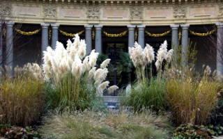 Кортадерия серебристая как вырастить из семян