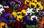 Виола «Швейцарские гиганты»: характеристика и выращивание из семян