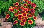 Гайлардия остистая «Аризона сан»: описание и секреты выращивания