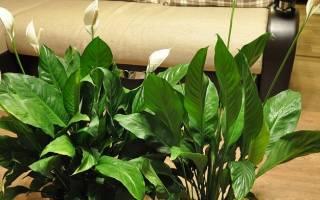 Спатифиллум посадка и уход в домашних условиях