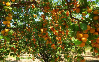Как правильно посадить абрикос в подмосковье