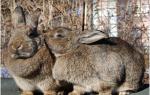 Случка кроликов осенью