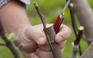 Как привить яблоню весной пошагово