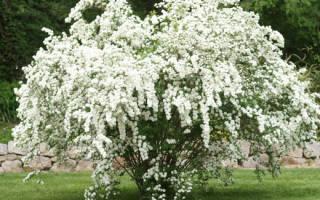 Спирея белая невеста посадка и уход