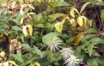 У клематиса желтеют листья: причины и лечение