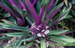 Как называется комнатное растение с фиолетовыми листьями