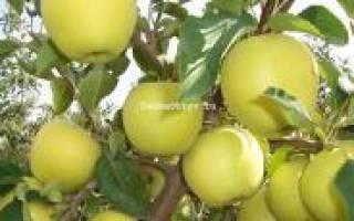 Яблоня голден делишес в подмосковье