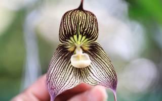 Орхидея Дракула: описание и правила ухода