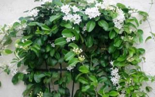 Цветок стефанотис как ухаживать