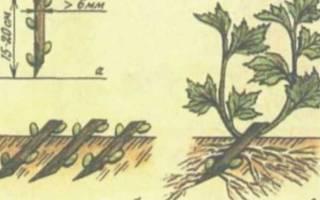 Размножение смородины черенками осенью в домашних условиях