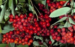 Как посадить рябину осенью
