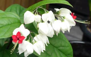 Клеродендрум не цветет что делать