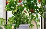 Какие овощи можно вырастить в квартире